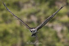 Silent Scream (NikonDigifan) Tags: osprey birdofprey birdwatching bird raptor nature naturesfinest naturephotography wildlife wildlifephotography idaho pacificnorthwest animal spring nikond850 nikon20050056 nikon mikegassphotography