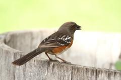 Female Spotted Towhee (jlcummins) Tags: home bird washingtonstate yakimacounty nature wildlife