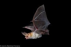 Pallid bat (SVALDVARD) Tags: bat bats nicaragua josegabriel josegabrielmartinez svaldvard svaldvardink