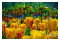Mango Strawberry (Bob Geilings) Tags: flowers yellow red flora park keukenhof netherlands spring green orange tulips fritillaria