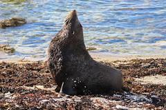 A magnificient fur seal enjoying the sun in Kaikoura - New Zealand (Valentin.LFW) Tags: newzealand nouvellezeland south hemisphere photographer photography canon aotearoa birds wildlife landscape auckland