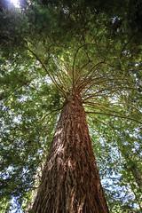 Sequoia - Redwoods Forest - Rotorua - New Zealand (Valentin.LFW) Tags: newzealand nouvellezeland south hemisphere photographer photography canon aotearoa birds wildlife landscape auckland