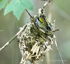 White-eyed Vireo (Mary Sonis) Tags: