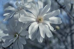 in full bloom (mariola aga) Tags: spring flowers magnolia white macro closeup bokeh nature