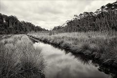 nyerimilang-3852-bw-ps-w (pw-pix) Tags: creek water rushes reeds weeds plants succulent saltwater marsh marshy swampy muddy trees titree eucalypts forest bush sky clouds cloudy overcast dull cool grey reflections shadows bw blackandwhite monochrome toned bancroftbay bancroftbaykalimnagippslandlakesreserve nyerimilangparkreserve nyerimilangpark maringacreek lookingupstream kalimnawestroad reeveschanneltrack kalimna nyerimilang eastgippsland gippslandlakes gippsland victoria australia peterwilliams pwpix wwwpwpixstudio pwpixstudio
