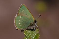 Green Hairstreak - Callohrys rubi (Chris B@rlow) Tags: callophrysrubi greenhairstreak green butterfly butterflies diptonwoods northumberland lepidoptera canon7dmarkii canon sigma105macro sigma150600 nature wildlife macro macros
