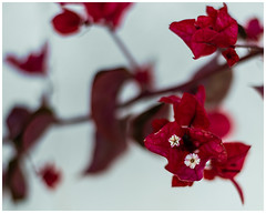 Red and White (nickyt739) Tags: red white flower closeup macro flora delicate nikon d750 fx amateur photographer