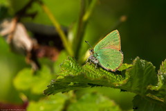 Green Hairstreak Butterfly (Callophrys rubi) (BiteYourBum.Com Photography) Tags: dawnandjim dawnjim biteyourbum biteyourbumcom copyright©2019biteyourbumcom copyright©biteyourbumcom allrightsreserved uk unitedkingdom gb greatbritain england canoneos7d sigma50500mmf4563dgoshsm apple imac5k lightroom6 manfrotto055cxpro3tripod manfrotto804rc2pantilthead loweproprorunner350aw sussex westsussex southdowns southdownsnationalpark botolphs shorehambysea shoreham millhilllocalnaturereserve millhill greenhairstreak butterfly callophrys rubi greenhairstreakbutterfly callophrysrubi