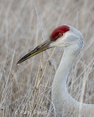 sandhill crane (Pattys-photos) Tags: sandhill crane marketlakewildlifemanagementarea idaho pattypickett4748gmailcom pattypickett