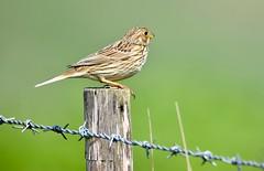 Bunting resting. (pstone646) Tags: bird nature animal closeup fauna bunting bokeh elmley kent feathers wildlife fencepost