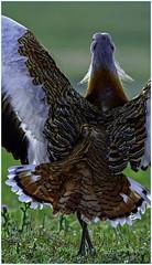 Avutarda (Otis Tarda)   figandPhoto   018 (figandPhoto) Tags: avutarda otistarda calera aves nikon d810 sigma 150600 hide