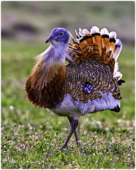 Avutarda (Otis Tarda)   figandPhoto003 (figandPhoto) Tags: avutarda otistarda calera aves nikon d810 sigma 150600 hide