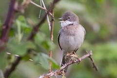 whitethroat (drbut) Tags: whitethroat sylviacommunis warbler songbird migrant bird birds farmland countryside wildlife nature
