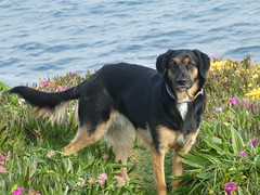 P1060246 (jesust793) Tags: perros dogs pet mascota mar coruña