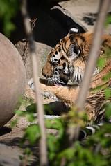 Tiger 06 (Sebastian Ukas) Tags: 150600mm berlin nikon sigma tiere tierpark tiger z6