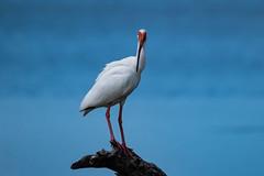 White Ibis (Martin Beecroft Photography) Tags: animal bird wildlife nature