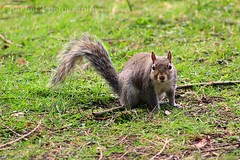 Squirrel 2 (charlieCphotgraphy) Tags: squirrel animal nature spring
