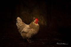 Poulette (Anne Sarthou . Photographie) Tags: ferme farm oiseau bird duck duckling canard caneton oie oisillon animal animaux volaille poule hen