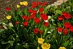 Tulpenzeit (Helmut Reichelt) Tags: tulpenzeit tulpen blüten garten geretsried april frühling wald bayern bavaria deutschland germany leica leicam typ240 captureone12 dxophotolab leicasummilux50mmf14asph