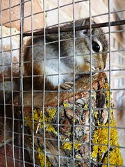 Chipmunk South Angle Farm Park Soham Apr 2019 (Uncle Money UK) Tags: chipmunk animal southanglefarmpark soham april 2019