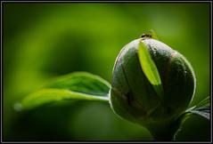 Pfingstrosenknospe (robert.pechmann) Tags: makro macro pfingstrose ameise blume robert pechmann knospe green