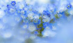 Blue heart (Tomo M) Tags: nemophila flower blue nature macro bokeh soft dreamy bright light outdoor ひたち海浜公園