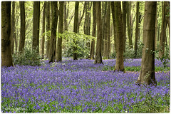 Micheldever Woods (23/30) (Missy2004) Tags: nikkorafs18140mmf3556gedvr micheldeverwoods beech bluebells april2019amonthin30pictures hampshire