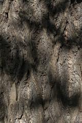 Amerikanischer Tulpenbaum (Liriodendron tulipifera) (Anita Pravits) Tags: amerikanischertulpenbaum austria botanicalgardenoftheuniversityofvienna botanischergarten frühling garten hbv hortusbotanicusvindobonensis liriodendrontulipifera magnoliaceae nordamerika northamerica park pflanze vienna wien garden plant spring österreich rinde baumrinde