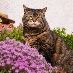 Sorry but purple isn't my colour ! (FocusPocus Photography) Tags: cleo katze cat tabby blumen flowers frühling spring tier animal haustier pet