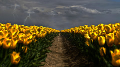 Before the Storm.... (Piet photography) Tags: fieldoftulips yellow perspective symetry lightning dramaticsky aoi elitegalleryaoi bestcapturesaoi