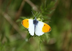 Male Orange-tip Butterfly (Chris Baines) Tags: orangetip butterfly male stutton mill suffolk