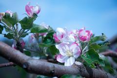Apfelblüten (Mariandl48) Tags: apfelblüten