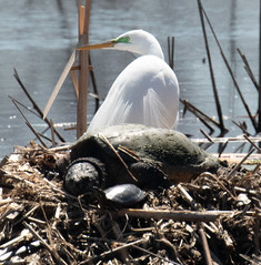 Great Egret and Giant Turtle Enjoying the Sun (ksblack99) Tags: greategret egret turtle muskrathouse ardeaalba monroe michigan sterlingstatepark