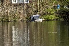 Heron (PhotoshopDelights) Tags: heron bird wildfowl lake pond wildlife ducks stock photography outdoor water canon