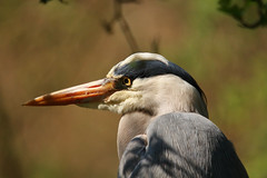 heron (haslerbryan) Tags: canon60d hertfordshire uk portrait closeup heron bird