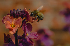 Feeding time (Merlene_Anker) Tags: nature bee bumblebee flowers spring summer purple orange wildlife bugs garden details wings fly