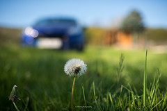 Spring is here '19 (eschborn.photography) Tags: eschborn eschbornphotography vinyard hut weinberg löwenzahn dandelion meadow wiese ford fiesta st blur bokeh background frühling april 2019