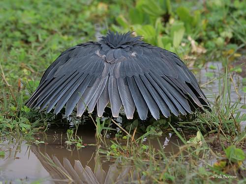 Black Heron Egretta ardesiaca