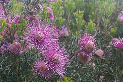 IMG_1476 (Pigeon Travels) Tags: 2019 arboretum california flowers garden nature santacruz trees ucsantacruzarboretum