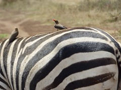 Red-billed oxpeckers on zebra in Nairobi National Park (Animal People Forum) Tags: oxpecker bird cleaner symbiosis symbiotic zebra equine mutualism savanna kenya nairobi africa