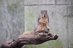 Fox Squirrels on a Sunny Spring Day at the University of Michigan - April 23rd, 2019 (cseeman) Tags: gobluesquirrels squirrels foxsquirrels easternfoxsquirrels michiganfoxsquirrels universityofmichiganfoxsquirrels annarbor michigan animal campus universityofmichigan umsquirrels04232019 spring eating peanuts aprilumsquirrel cavitynest nest treecavitynest juvenilesquirrels juveniles