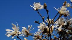 White on blue (Steenjep) Tags: blomst flower macro makro closeup magnolie stjernemagnolie magnoliastellata magnolia stellata