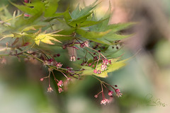 In a gentle breeze (pollylew) Tags: japanesemaple mapleflowers mapleleaves sunlight breezy