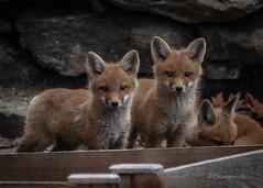 Fox Kits 04.19-4 (Kitoon) Tags: fox foxkits animal nature