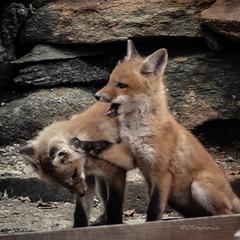 Fox Kits 04.19-2 (Kitoon) Tags: fox foxkits animal nature