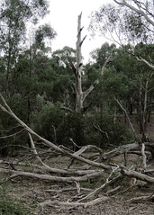 Dead tree and fallen branches (Richard Rodgers_melb.aus) Tags: australia victoria eltham trees