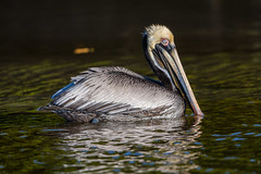 Brown on black (ChicagoBob46) Tags: brownpelican pelican bird fortmyers bunchebeach nature wildlife naturethroughthelens coth5 ngc npc