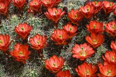The Dance (oybay©) Tags: hedgehog cactus flower macro flores flora fiori blumen flowers hedge hog arizona spring sky nature natural color colors naturesfinest plant outdoor cactusflower bright