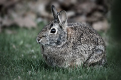 Bunny (imageClear) Tags: bunny rabbit cute quiet nature animal aperture nikon d500 80400mm imageclear flickr photostream