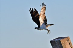 2019.04.22.9225 Takeoff (Brunswick Forge) Tags: 2019 grouped florida animal animals bird birds animalportraits outdoor outdoors nature wildlife raptor osprey ospreys nikond500 nikkor200500mm day evening sunny clear spring air sky inmotion favorited commented
